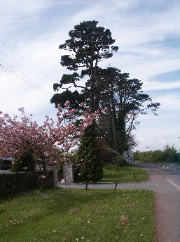 Area-I .. a pleasant mix of blossom and fir as seen today on Preston Down Road, Occombe